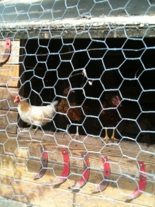 The chicken coop at the garden behind REBUS Works.