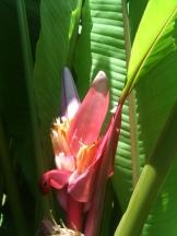 Pink Banana (Musa velutina)