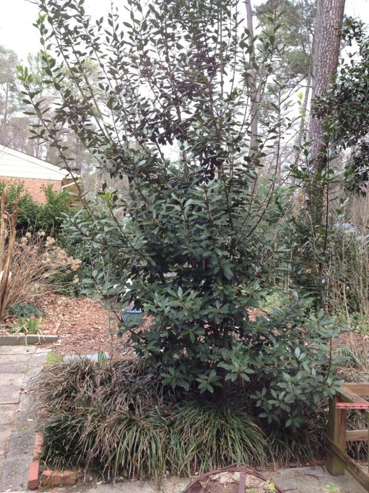 The bay laurel gets a trim! (1/6)