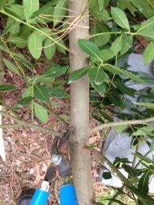 The bay laurel gets a trim! (5/6)