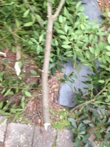 The bay laurel gets a trim! (6/6)